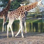 giraffe in Fota Island